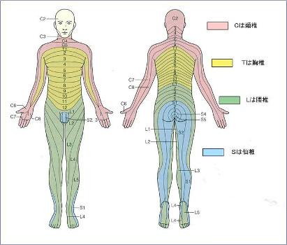 坐骨神経の支配域